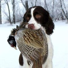 Springer Spaniel with cock Pheasant....gosh, looks like a puppy too...must have a clever trainer!
