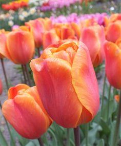 Tulip Annie Schilder - Triumph Tulips - Tulips - Fall 2014 Flower Bulbs