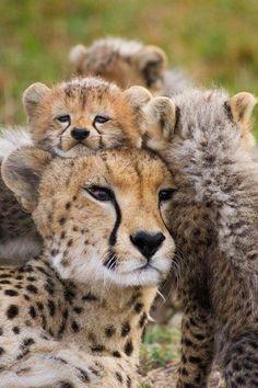Cheetah Family ((: