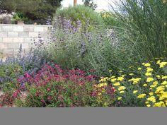 Mediterranean garden designs - perovskia, achillea, two salvias, nepeta - all these  plants are very water-wise.