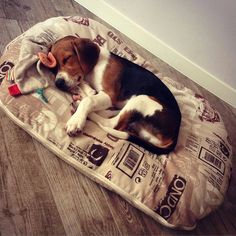 "Click visit site and Check out Best ""Beagle"" T-shirts. This website is excellent. Tip: You can search your name or your favorite shirts at search bar on the top."