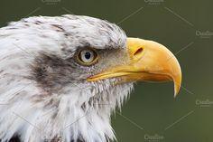 bald eagle head portrait close up by Genaro Diaz photographs on @creativemarket