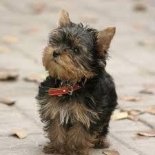 yorkshire terrier - Buscar con Google