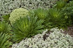 Lobelia abadarica, Pittosporum 'Golf Ball' and Helichrysum in a gorgeous combination at Woodbridge garden in Coatesville.