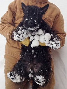 Scottish Terrier after playing in the snow.