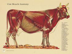 "cow skull anatomy poster  18"" x 24""  veterinary anatomy"