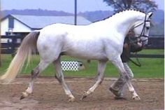 colorful pictures of draught horses | Irish Draught Stallion for Stud in Florida - Silver Galtee