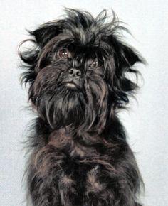 Affenpinscher Dog