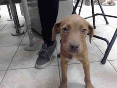 04/18/17-~~PUPPY ALERT!!~owner surrender=no hold time~~ ~ HOUSTON-EXTREMELY URGENT -This DOG - ID#A481651 I am a female, brown Pit Bull Terrier mix. The shelter staff think I am about 11 weeks old. I have been at the shelter since Apr 18, 2017. This information was refreshed 6 minutes ago and may not represent all of the animals at the Harris County Public Health and Environmental Services.