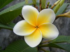 Plumeria-love them so much for their beauty and fragrance