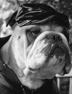 a place to share the Bulldog Love Cute Funny Animals, Cute Dogs, Australian Bulldog, French Bulldog, English Bulldogs, Harley Davidson, Thor, Cute Bulldogs, Dog Whisperer