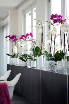 Phalaenopsis #orchidee