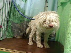 This DOG-ID#A441002  I am described as a female, white Poodle - Miniature mix.  The shelter thinks I am about 1 year.  I have been at the shelter since Sep 29, 2014 and I may be available for adoption on Oct 06, 2014 at 9:00AM. If you are interested in me, please visit me before this date.  If you think I am your missing pet, please call or visit right away. Otherwise, please visit me in person as shelter staff are busy caring for my needs.
