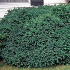 Dwarf English Boxwood Buxus sempervirens Suffruticosa Monrovia
