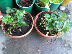 Potted my last two strawberry plants. Runner strawberries, will make great Christmas gifts.