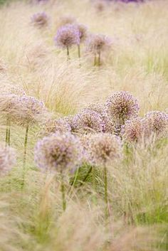 WHITE AND GREEN;  ALLIUM GIGANTEUM AND STIPA TENUIFOLIA IN THE