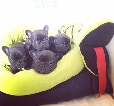 Cucciolata 22 Aprile 2016 i quattro maschi Dog Boarding, Dog Owners, French Bulldog, Dogs, Animals, Dog Daycare, Animales, Animaux, French Bulldog Shedding