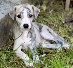 Whippet pup