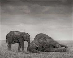 8/9 Die Verletzlichkeit der Natur: Zwei Elefanten in Amboseli (2012). Bild: Nick Brandt