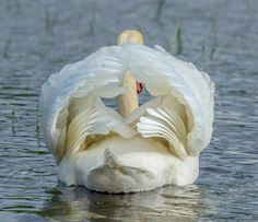 photo by Jorn Allan Pedersen ...This is maybe the most beautiful part of a swan - but very seldom in focus in the camera lens