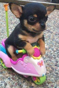 Chien miniature sur un scooter