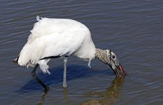 Woodstork - beautiful or ugly?