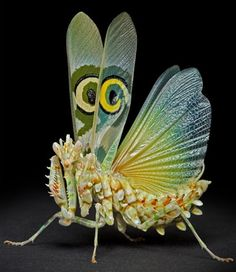 A Spiny Flower Praying Mantis!! It lives in Sub-Saharan Africa and is quite small for a mantis, with the adults only growing to a few inches in size!! It uses the eyes on its wings to scare predators.