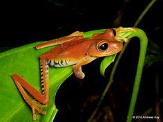 https://flic.kr/p/LypkC8 | Troschel's tree frog, Hypsiboas calcaratus?