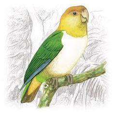 Marianinha (Pionites leucogaster)