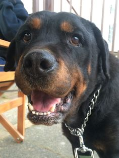 Miss you so much baby #rottweiler #rottie #dog
