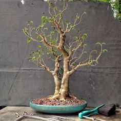 How about some love for a ficus benjamina?