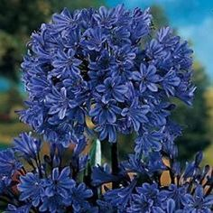 Whether you want to plant for the first time or renovate your garden, consider getting some Agapanthus Peter Pan.There are many cool things about this beautiful flower that will probably entice you. 10 Amazing Facts Of Agapanthus Peter Pan - African Lily Agapanthus Plant, Agapanthus Blue, Growing Orchids, Growing Flowers, Planting Flowers, African Lily, Flower Pot Design, Easy Care Plants, Foliage Plants