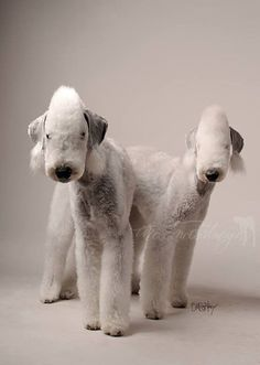 Bedlingtons-The original coneheads. Cute Dog Pictures, Dog Photos, Dog Portraits, Beautiful Dogs, Dog Grooming, Small Dogs, Animals And Pets, Dog Breeds, Cute Dogs