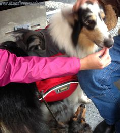 Harlequin blue merle rough collie dog, Huxley, gets some comforting treats on his first dog-friendly gondola ride at Crystal Mountain, Washington