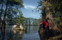 People paddle a canoe toward a girl clinging to a giant cypress tree in Hill Lake, Arkansas, September 1946.Photograph by Willard Culver, National Geographic