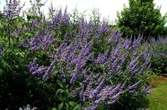Full size picture of Vitex, Chaste Tree, Lilac Chaste Tree, Monk's Pepper (<i>Vitex agnus-castus</i>)