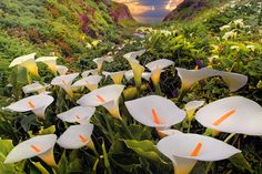 calla lillies, Garrapata State Park