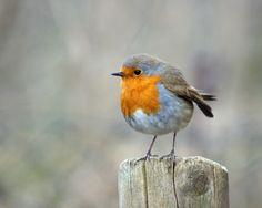 European robin by Helen Haden