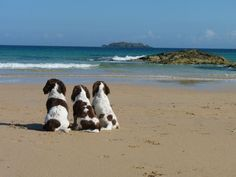 3-Springer Spaniels enjoying the beach . . . . The girls day at the beach without the guys. Oh what fun we will have with no boys...