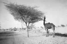 Camel, Tree and Road, Rajasthan © Felicia Murray