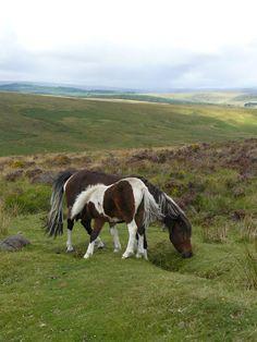 Wild Dartmoor Ponies by David Thiérrée