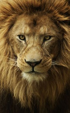 The glorious beauty of a lion. The universe is in that gorgeous face. Cats!
