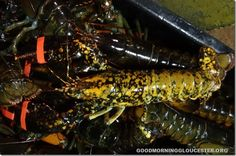 Well Hello There Mr Crazy Speckled Lobster