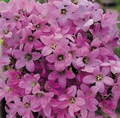 Dwarf Pink Campanula (Campanula carpatica) Perennial   Flowers the first year with attractive soft pink flowers. Blooms from May to August. Use in borders. Start seed indoors 8-10 weeks before last frost. First year height is 12 inches. Prefers sun to part shade. Approximately 100 seeds/Pkg.