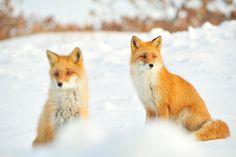 Ezo red fox (Vulpes vulpes schrencki )キタキツネ