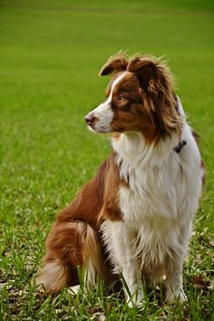 The many things we all adore about the Work-Oriented Australian Shepherd Dogs Red Australian Shepherd, Australian Shepherd Training, Blue Merle, Aussie Puppies, Dogs And Puppies, Corgi Puppies, Doggies, Husky, Herding Dogs