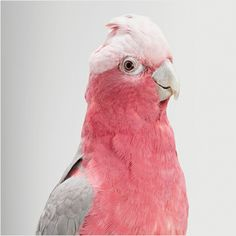 Queenie, Galah Cockatoo by Leila Jeffreys  She has photographed the birds in a traditional studio portraiture setting to capture their real characters.