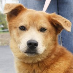 Doc is an adoptable Retriever Dog in Huntley, IL. Please visit the website and fill out an online application and then come on out. The 'How to Adopt' page has directions, hours and adoption policies....