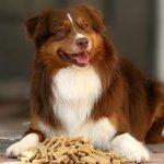 Australian Silky Terrier high definition photo