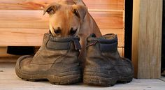 How to Deodorize Shoes. Have your shoes become the topic of discussion — in a bad way? Smelly shoes can be the source of great embarrassment. Luckily, there's help. There are literally dozens of ways to get rid of shoe odor. Suede Boots, Rain Boots, Stinky Shoes, Deodorize Shoes, Dog Urine, Dog Facts, Your Shoes, Leather Purses, Dog Love